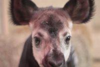 Зоопарк Сент-Луиса представил новорожденного окапи