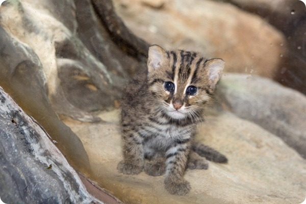 Детеныш кошки-рыболова из зоопарка Денвера
