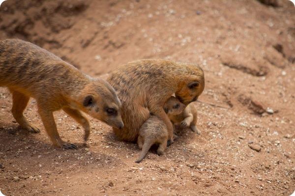 У семьи сурикатов из зоопарка Бревэрда родилась двойня