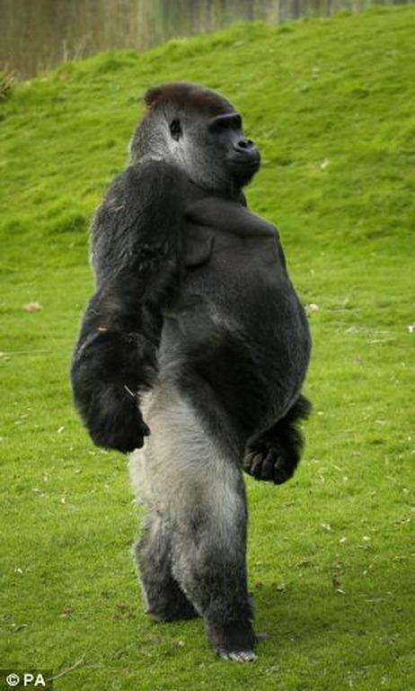 фото самец гориллы