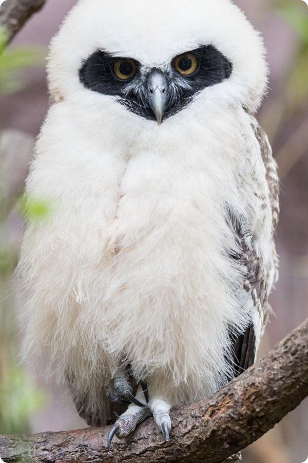 Птенцы очковой совы из зоопарка Базеля покинули свое гнездо
