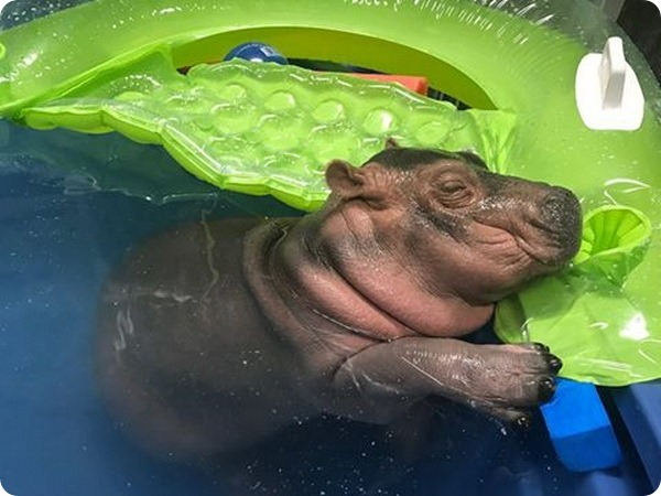 Детеныш бегемота Фиона из зоопарка Цинциннати