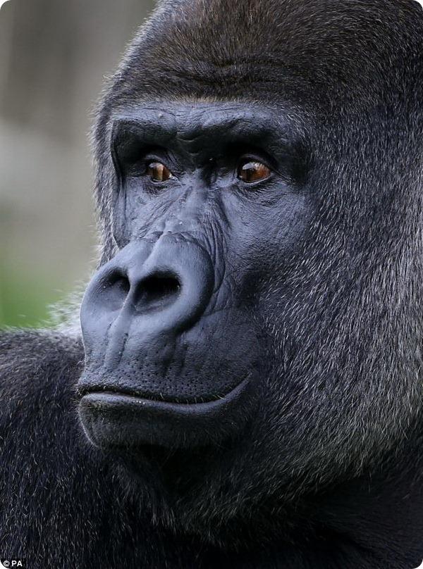 Необычный самец гориллы по кличке Амбам