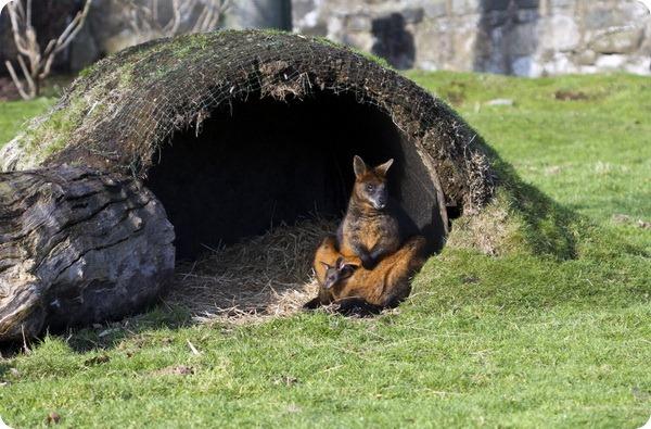 Зоопарк Эдинбурга представили новых детенышей валлаби