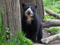 В Нью-Йорке впервые родился детеныш очкового медведя
