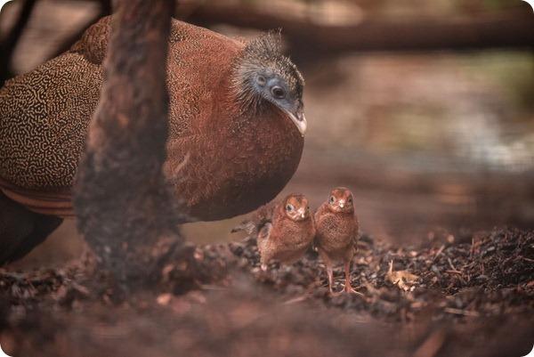 Зоопарк Честера представил птенцов редкого фазана