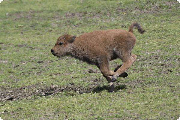 В зоопарке Бронкса родилось шесть детенышей бизона