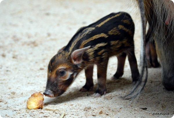 В зоопарке Вроцлава родились детеныши кистеухой свиньи