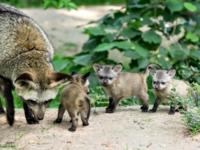 В зоопарке Крефельда родились детеныши большеухой лисицы