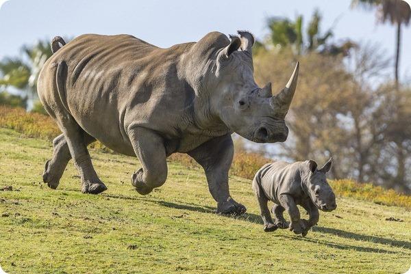 В зоопарке Сан-Диего родился детеныш редкого белого носорога