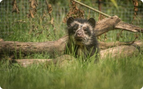 В Великобритании родился первый очковый медведь