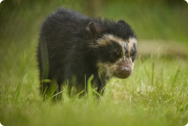 Spectacled bear cubs