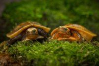 Коробчатые черепашата из Смитсоновского зоопарка