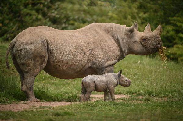В зоопарку Честера народилося два дитинча чорного носорога - все про тварин