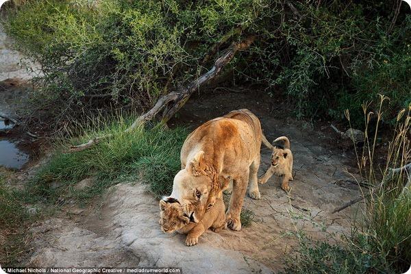 Исчезающие животные от фотографа Майкла Николса