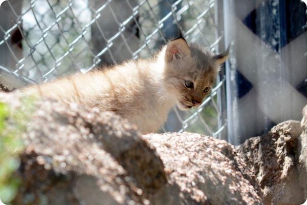В зоопарке Шайенн Маунтин подрастают детеныши канадской рыси