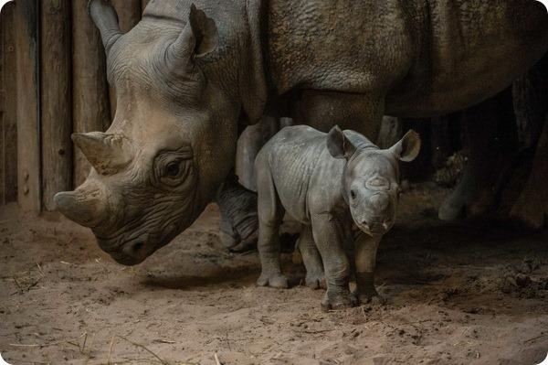 В зоопарке Честера родилось два детеныша черного носорога