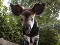 Зоопарк Сан-Диего рад сообщить о рождении детеныша окапи