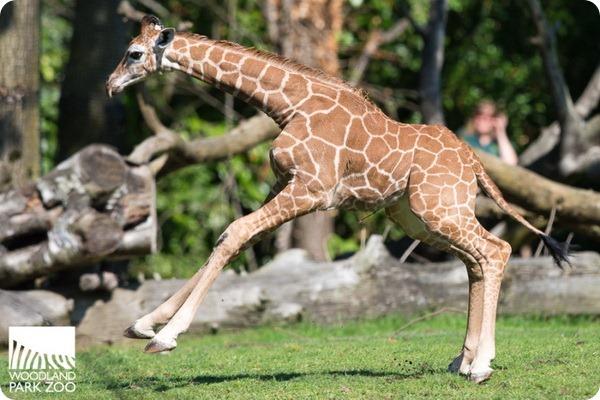 В Woodland Park Zoo подрастает детеныш жирафа