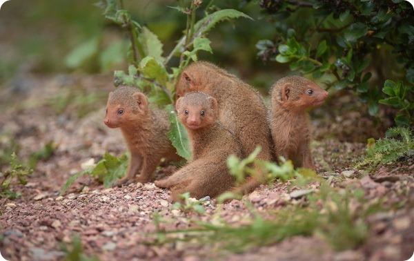Веселое семейство карликовых мангустов из зоопарка Честера