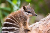Зоопарк Перта пытается возродить исчезающие виды сумчатых