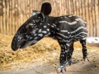 Зоопарк Эдинбурга представил детеныша малайского тапира