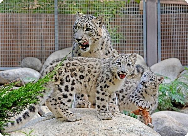 В зоопарке Лос-Анджелеса подрастают детеныши ирбиса