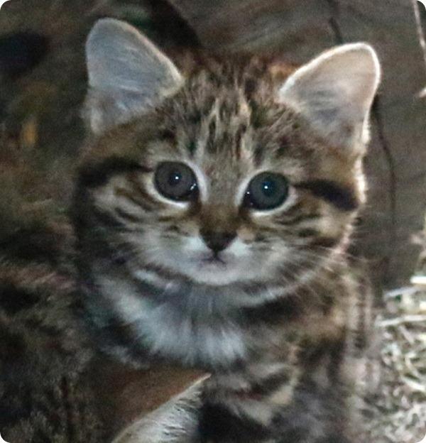 Зоопарк Хогл празднует рождение котенка черноногой кошки