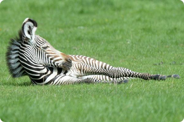 В Зоопарке Уипснейд подрастают два жеребенка зебры Греви