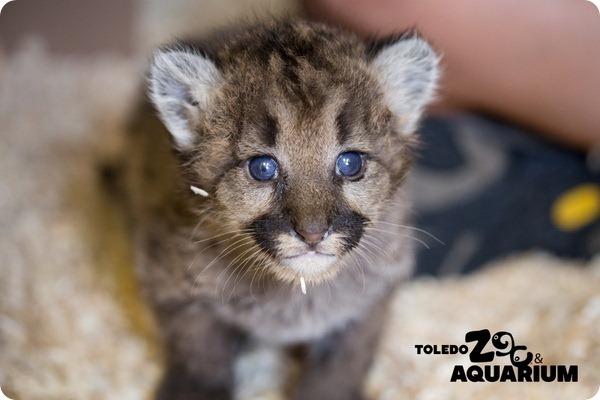 Зоопарк Толедо приютил осиротевших детенышей пумы