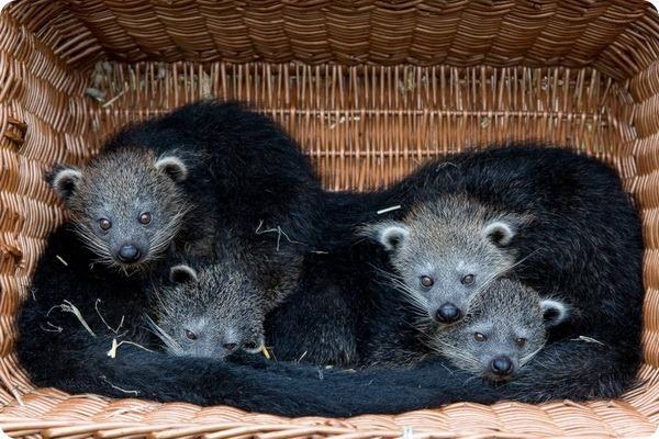 Берлинский зоопарк представил четырех детенышей бинтуронга