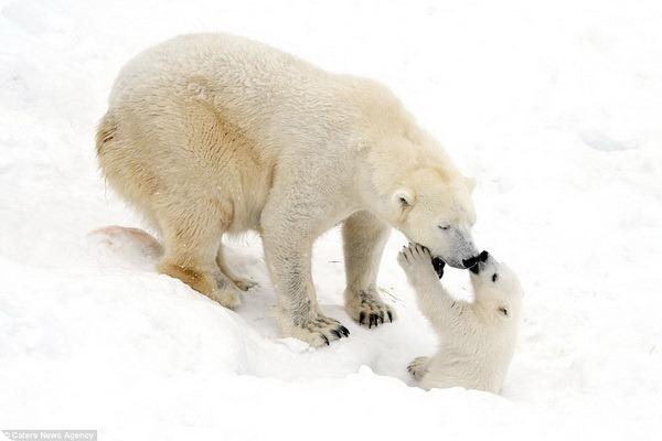Белые медведи: мама и малыш весело играют на снегу