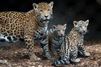 В зоопарке Хьюстона подрастают детеныши ягуара