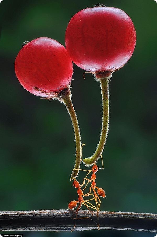 Муравьи-силачи: снимки от фотографа Эко Адианто