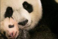 В зоопарке Франции подрастает детеныш большой панды