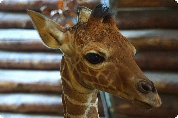 В зоопарке Вроцлава родился детеныш сетчатого жирафа