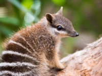 Подросших намбатов из зоопарка Перта выпустили на волю