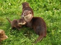 Зоопарк Уоберн представил четырех детенышей выдры