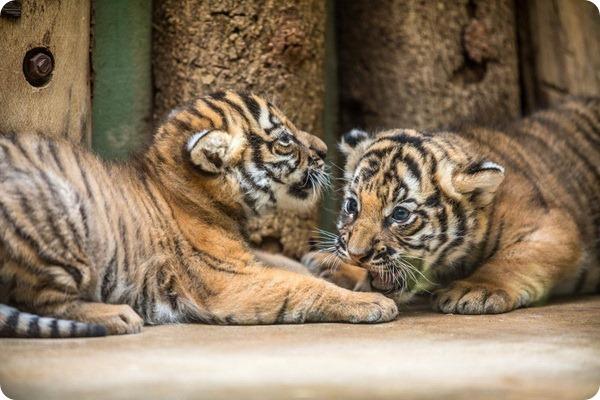 Редкие малайские тигрята из зоопарка Праги