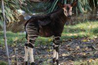 В зоопарке Лос-Анджелеса родился детеныш окапи