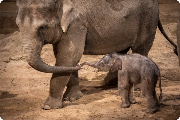 В парке животных Планкендель родился азиатский слоненок