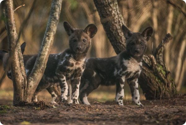 Зоопарк Честера представил щенков гиеновидной собаки