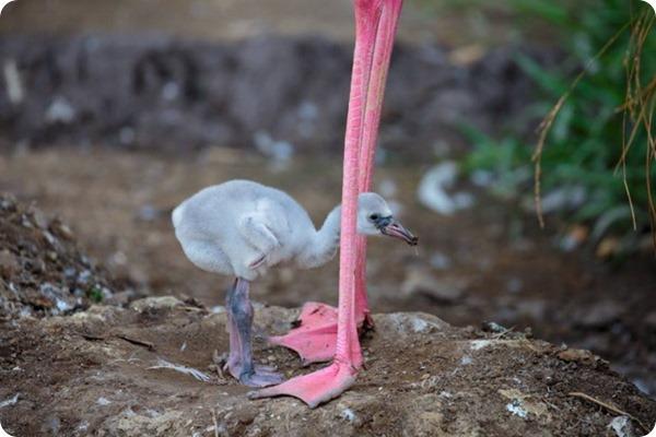 В зоопарке Окленда вылупился птенец розового фламинго