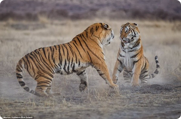 Схватка двух тигриц в заповеднике под Филипполисом