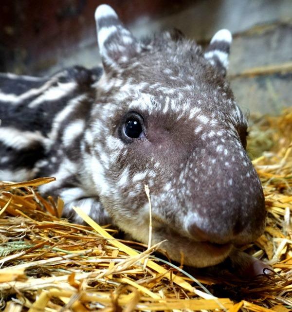В зоопарку Вроцлава відбувся дебют дитинча тапіра - все про тварин
