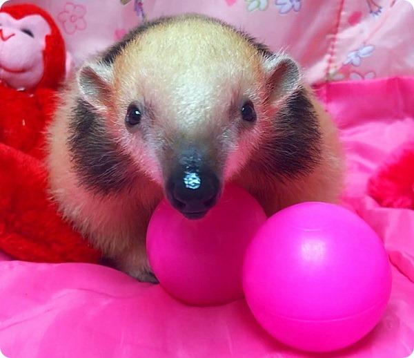 Детеныш тамандуа из зоопарка Статен-Айленда