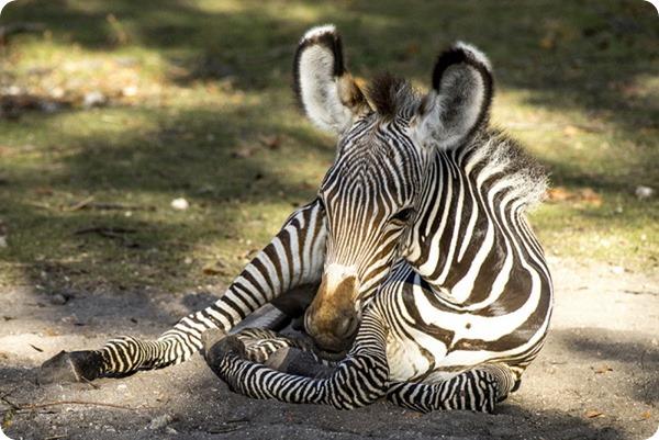 Зоопарк Майями представил двух жеребят зебры Греви