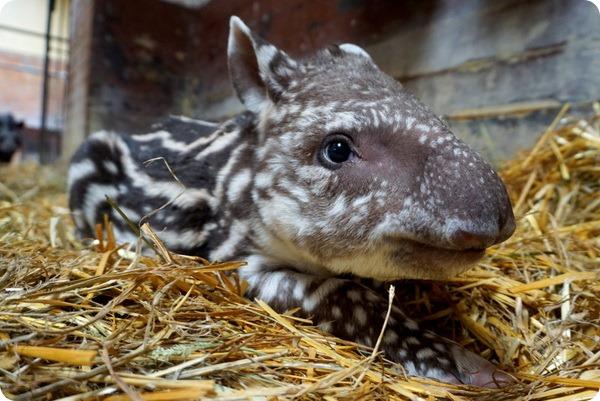 В зоопарке Вроцлава состоялся дебют детеныша тапира