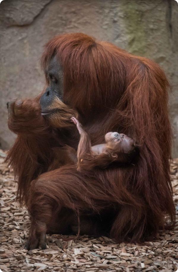 Честерский зоопарк сообщил о рождении детеныша орангутанга
