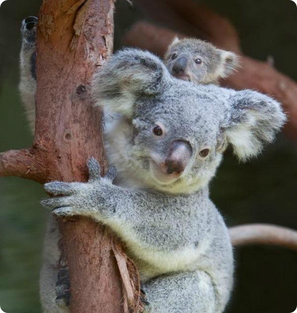 В зоопарке Ривербанкс детеныш коалы покинул сумку матери